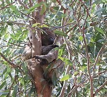 Koala in a tree, Morialta Conservation Park, S.A. by elphonline