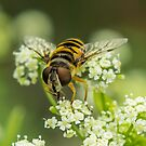 Hover Fly by Cynthia Broomfield