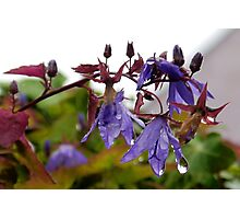 Bell Flowers in the Mist.........Dorset UK Photographic Print