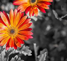 Splashing Daisies by OzPhoto