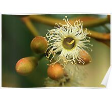 Karri Flower and Buds Poster