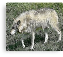 Rexburg Idaho - Timber Wolf Canvas Print