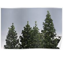 conifer trees Poster