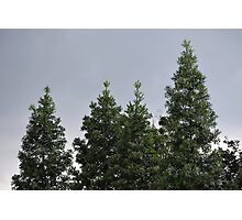 conifer trees Photographic Print