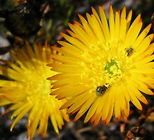 Lampranthus bicolor with beetles by Lee Jones