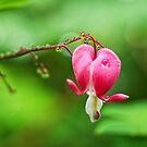 Dewy Bleeding Heart  by Susie Peek