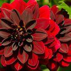 Dahlia flower by Anastasia E