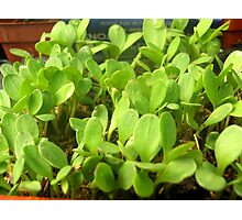 Seedlings Photographic Print