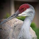 Sandhill Crane (Grus canadensis) by Jeff Ore