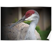 Sandhill Crane (Grus canadensis) Poster