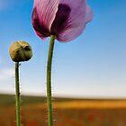 Purple Poppy by JEZ22