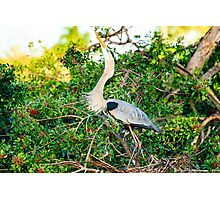 Great Blue Heron at Venice Rookery Photographic Print