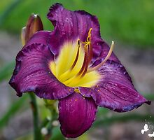 Flower - Day Lilly by TJ Baccari Photography