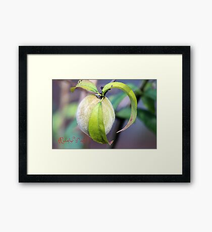 Baby Peach Framed Print