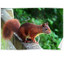Red Squirrel at Escot Park, Devon UK Poster