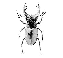 Simple Stag Beetle - White by Matt Aunger