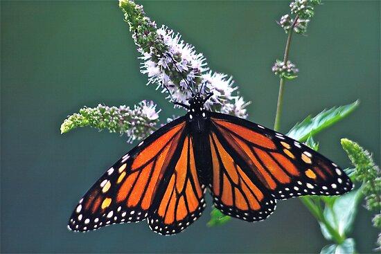 Magnificent Monarch by autumnwind