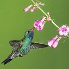 Broadbill on Penstamen by Linda Sparks