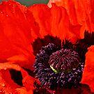 Poppy 1 by Carolyn Clark