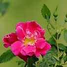 Pink Garden Rose by Debbie Oppermann