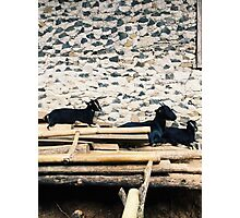 A Family of Black Sheep Photographic Print