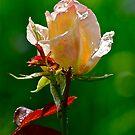 Rose 4 by Carolyn Clark