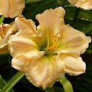 Cream Daylily by Sandy Keeton