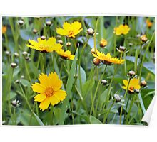 Sunny Yellow Coreopsis Poster