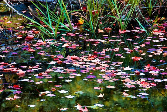 Floating Leaves on a Fall Day by Anita Pollak