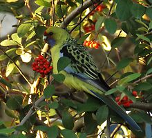 Yellow rosella by ndarby1