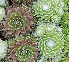 Succulent 4 by rualexa