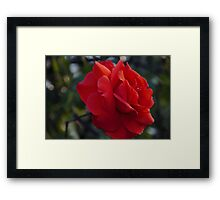 My love is like a red red, rose – wisley Framed Print