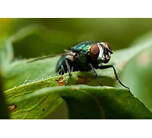 potrait of a green fly Photographic Print
