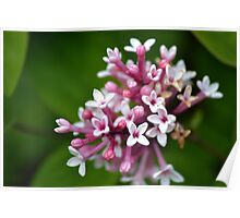Pink and white flower Poster