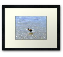 Whimbrel In The Galapagos Painting Framed Print
