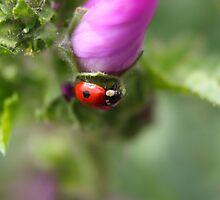 Two spot Ladybird by GreyFeatherPhot