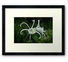 Peruvian Daffodil Framed Print