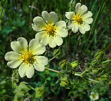 Canadian Dwarf Cinquefoil by vigor