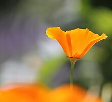 Orange Poppy by Tracy Friesen