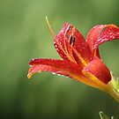 Lily in the Rain by Tracy Friesen