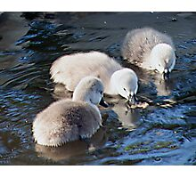 Cygnets Together Photographic Print