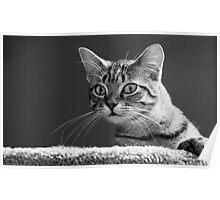 Curious Tabby Cat Gazes at Camera Poster