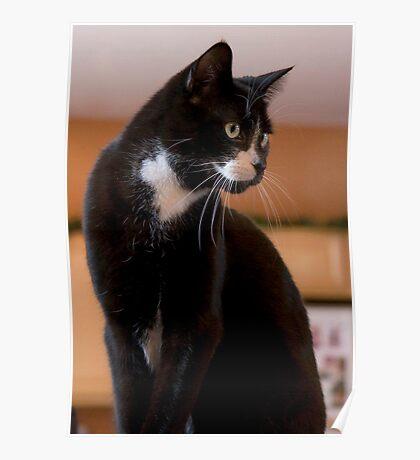 Elegant Tuxedo Cat Posing Poster