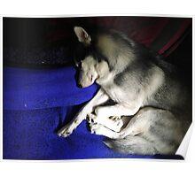 Sleeping Husky Puppy Poster