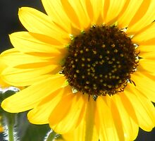 Sunflower in Sun by Navigator