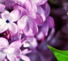 fresh lilacs Sticker