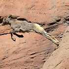 Baby Mountain Goat Leaping by Kathleen Brant