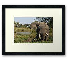 Elephant Eating in Malawi  Framed Print