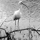 Ibis by Bill Wetmore