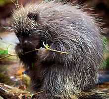 Porcupine by RandyHume